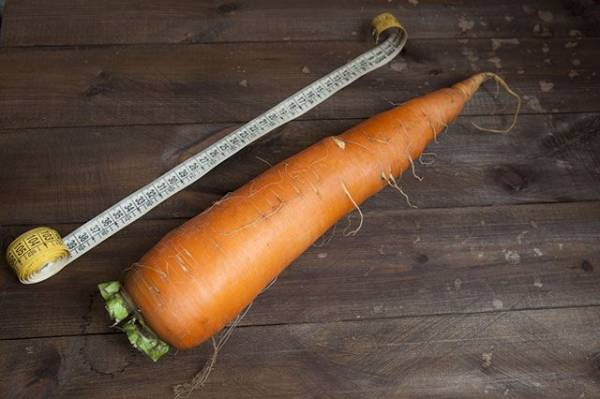 Пошёл на рекорд. Американец вырастил морковь весом 10 кг