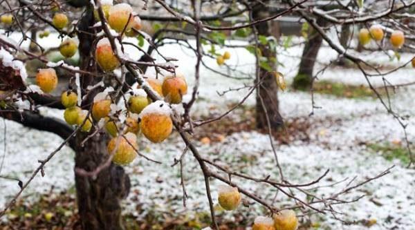 К морозам готовы! Как защитить плодовые деревья от любых зимних невзгод