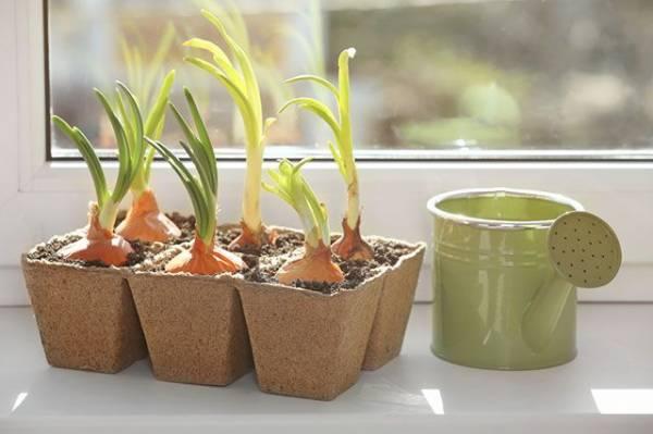 Растения для кухни. Что можно вырастить на подоконнике?