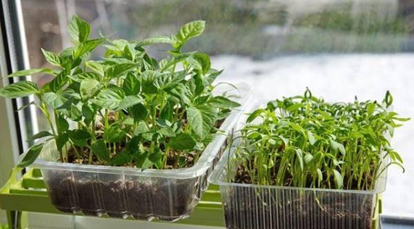 Семена ипосев. Что нужно учесть при выращивании рассады
