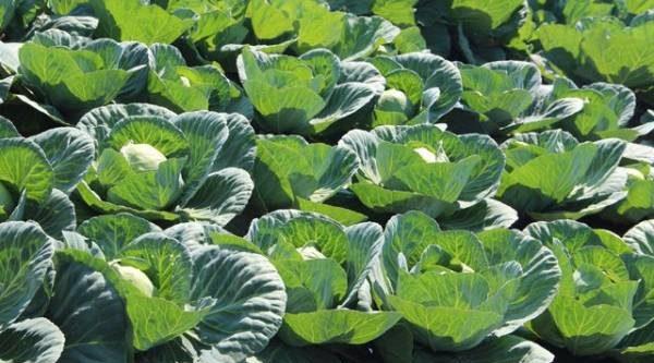 Идём за капустой. Какие сорта дадут хороший урожай?