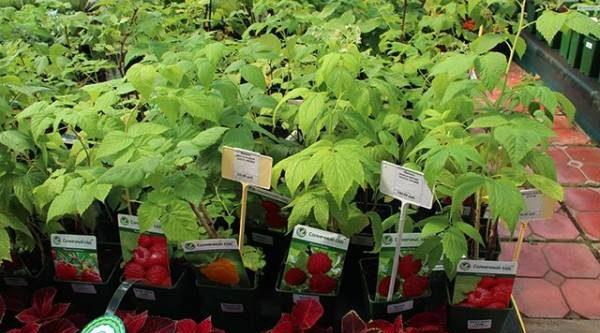 Плодовые иягодные культуры: выбираем правильные саженцы для сада