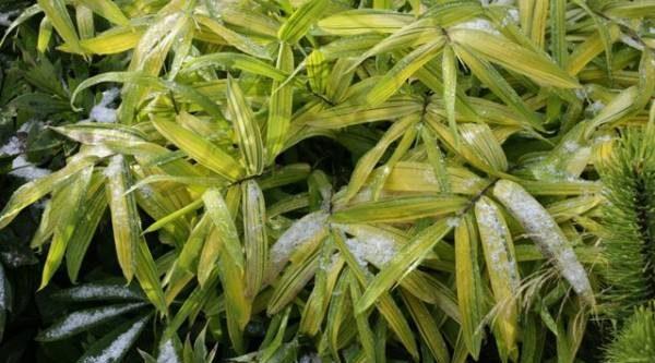Как в Японии. Можно ли вырастить бамбук в Подмосковье