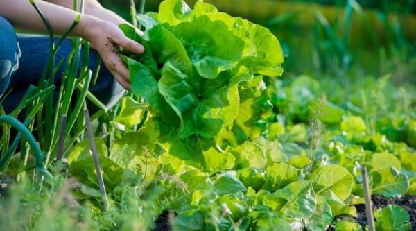 Зелень со знаком качества. Какие сорта салата и укропа посеять на даче?