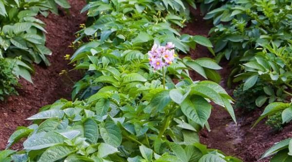 Как порадовать картошку. 5 мифов, вера в которые портит ваш урожай