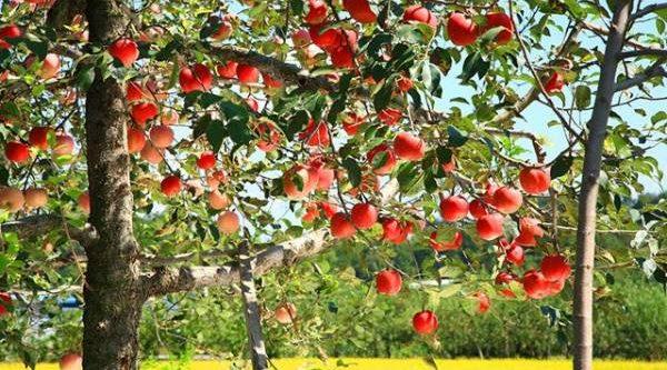 Плодовые культуры. Как избавиться от плодожорок, тли и парши