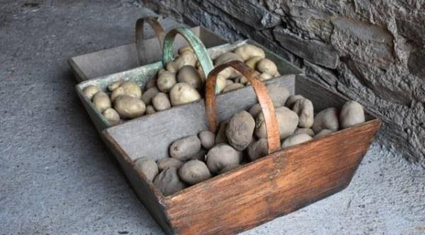 Уборка картошки. Как сохранить урожай и заготовить клубни на посадку?