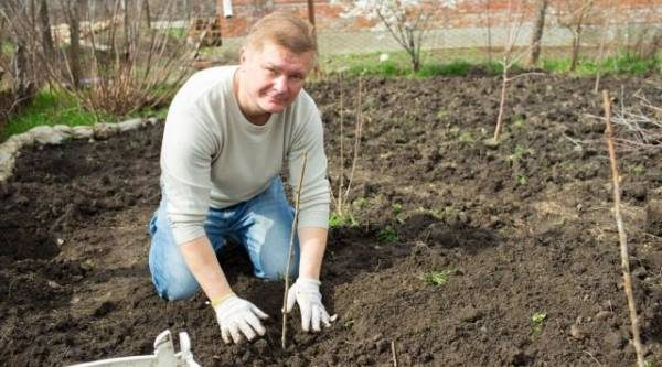 Осенние хлопоты. Как посадить саженцы плодовых деревьев и кустарников