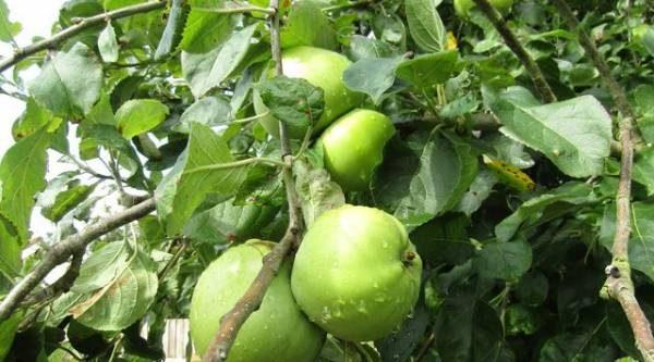 Человек и яблоко. Знаменитые сорта, названные в честь селекционеров