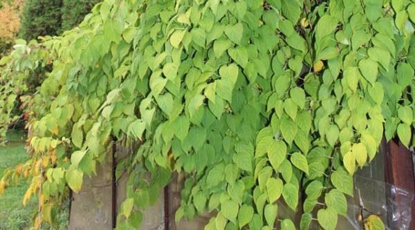 Мини-киви вместо винограда. Выращиваем актинидию аргуту на участке