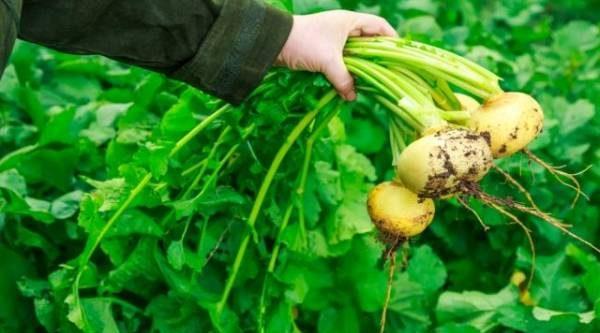 Огород – как у бабушки! Выращиваем традиционные российские овощи