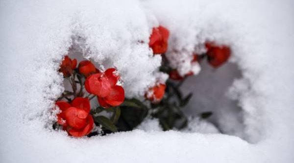 Метеосводка изсада. Почему необходимо пригибать и укрывать розы на зиму
