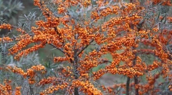 Облепиха и лохи. Чем полезны деревья и кустарники семейства Лоховых
