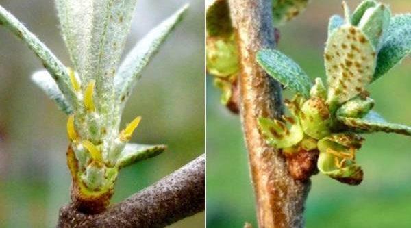 Облепиха мужская и женская. Сколько разнополых деревьев нужно иметь в саду