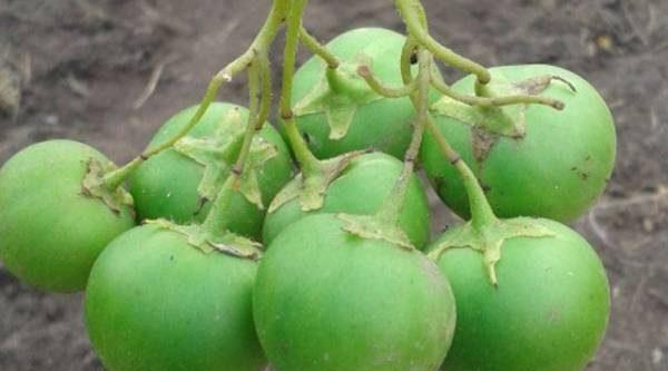 С чистого листа. Почему лучше выращивать картофель из семян?