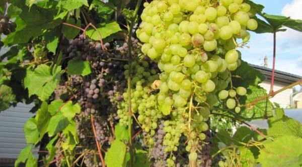 Северные сорта. Какой виноград не боится мороза?