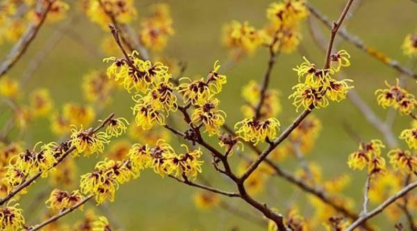 Южные раннецветущие. Чем интересны древесные растения