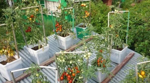 Огород на крыше. Сажаем помидоры ближе к солнцу