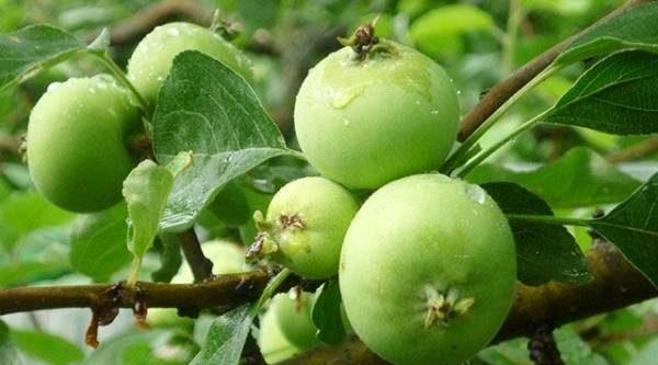 Созреют только лучшие. Почему так важно удалять мелкие плоды деревьев